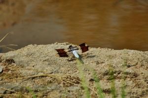 ...a biplane dragonfly
