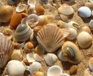 'Sea Shell Collector'